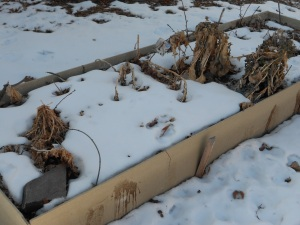 This raised bed was actually producing kale, Swiss chard, & broccoli well into November.
