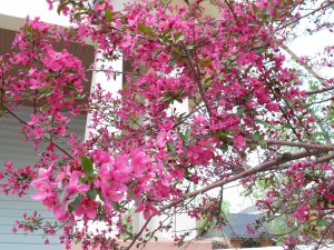 The tree in our front yard produces these pink flowers, which I use nearly every year to decorate my daughter's birthday dessert.