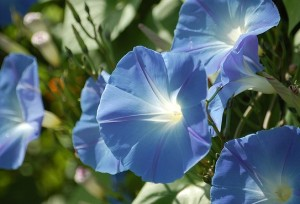 Morning Glory Ipomoea tricolor Heavenly Blue
