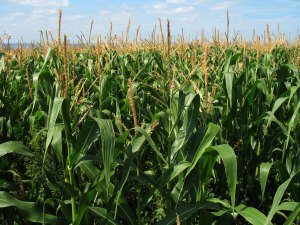 On a cross-country drive, I saw almost nothing but corn fields for 22 hours straight. That's a lot of corn!