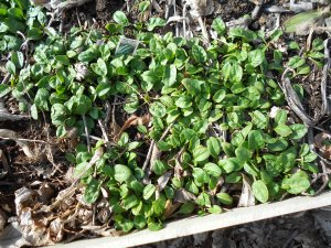 baby spinach already in the garden